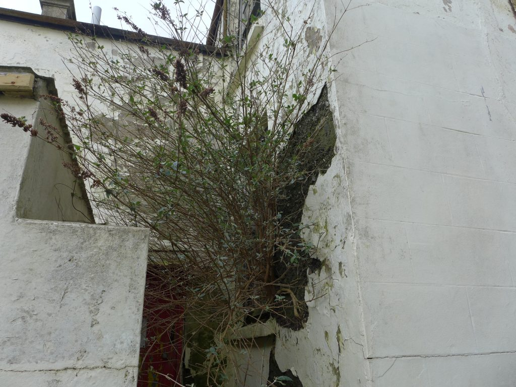Tree growing out of mundic block construction